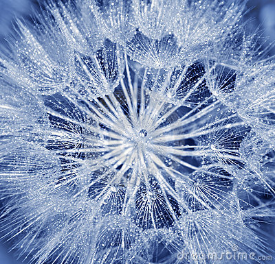 Free Soft Dandelion Flower Royalty Free Stock Images - 20420619
