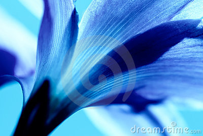 Soft Focus of Rain Lily