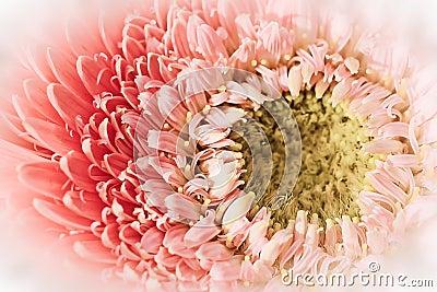 Soft Gerber Daisy