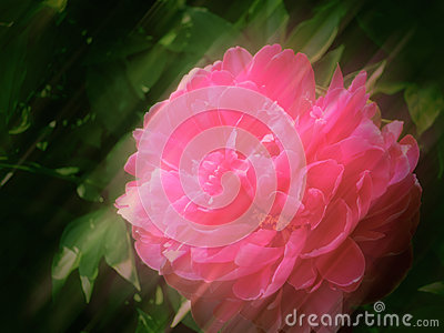 Soft Peony Background