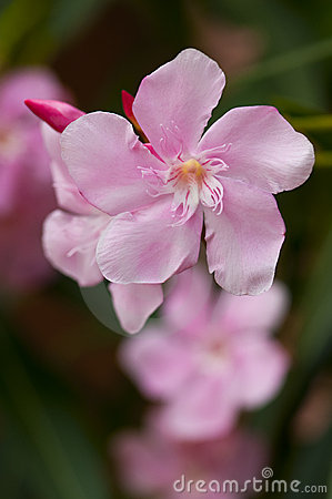 Soft Pink Nerium Oleander Flower