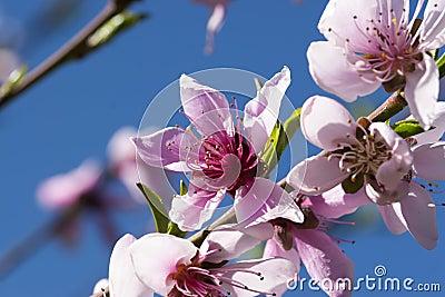 Peach Blossom Blue Sky