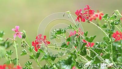 Soft rain falling on pink pelargonium flowers and leaves stock video