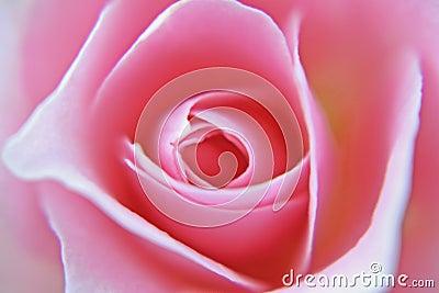Soft rose blur