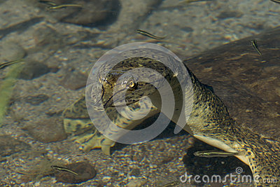 Soft-Shelled Turtle