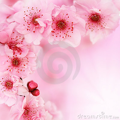 Free Soft Spring Cherry Flowers Background Stock Images - 11332544