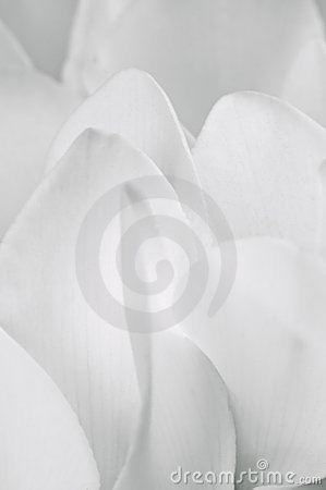 Soft White Cyclamen Petals Macro Closeup