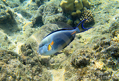 Sohal矛状棘鱼