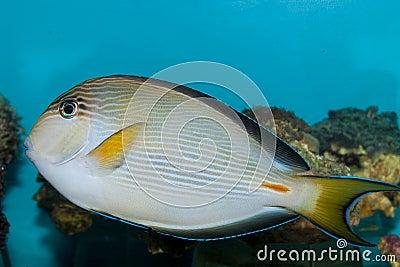 Sohal Surgeonfish Tang in Aquarium