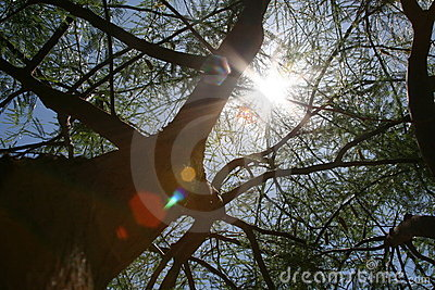 Sol do meio-dia através de uma árvore do mesquite