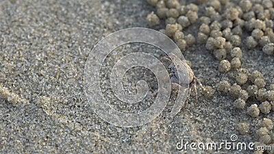 Soldatkrabbe oder wichmani De Man Mictyris Dotilla Kleine Krabben essen Humus und kleine Tiere fanden am Strand als Lebensmittel  stock video footage