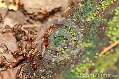 Soldier termite guarding the worker termites