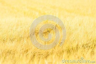 Sole Crop