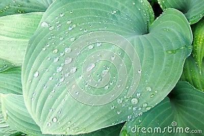 Solid green hosta leaf