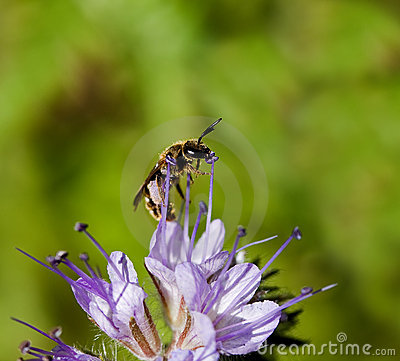 Solitary Bee on Phacelia flower