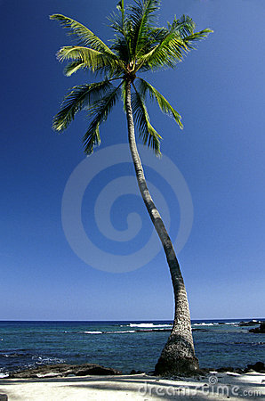 Solitary Big Island Palm