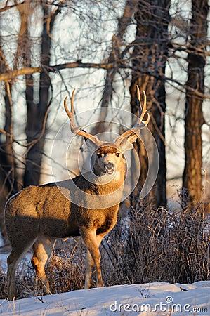 Free Solitary Buck Mule Deer Standing Stock Images - 16834194