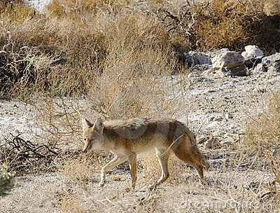Solitary coyote