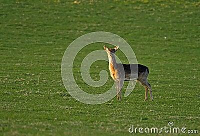 Solitary Deer: Fallow Buck Fawn.