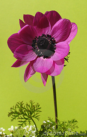 Solitary french anemone isolated on green