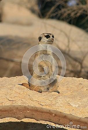 A Solitary Meerkat