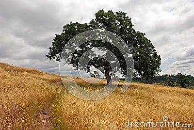 Solitary Oak