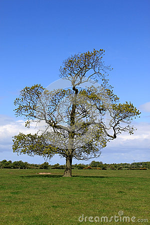 Solitary oak tree at springtime in field.