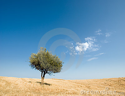 Solitary olive tree