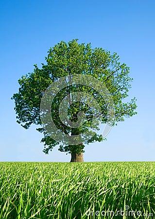 Solitary tree.