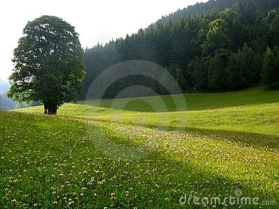 Solitary tree on alpine meadow