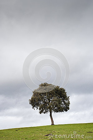 Solitary tree in the meadow, with a dark cloudy sky