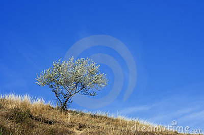 Solitary tree, raw