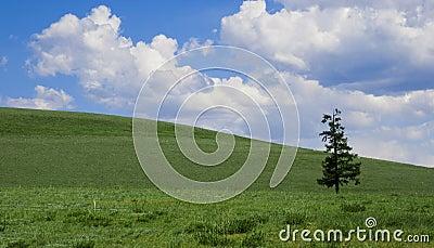 Solitude pine on green field