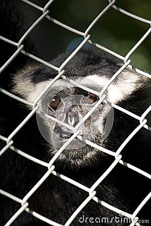 Solo mono joven solo