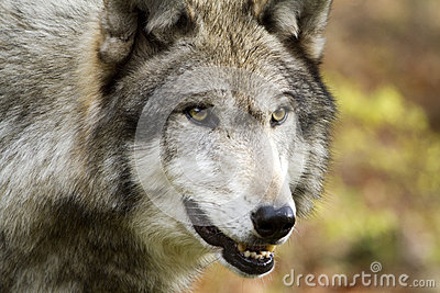 Solo Wolf staring intently