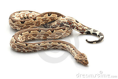 Solomon island ground boa