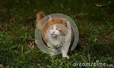 Somali Cat On Grass Close Up Photo Free Public Domain Cc0 Image
