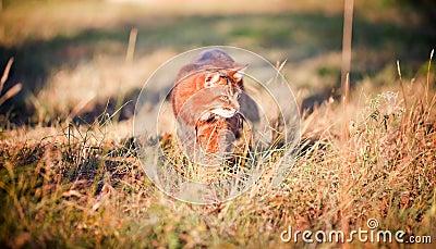 Somali cat hunting