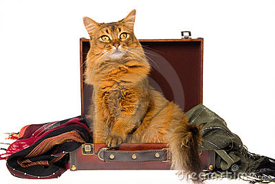 Somali cat lying in brown suitcase