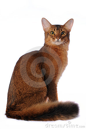 Somali cat sits isolated on white
