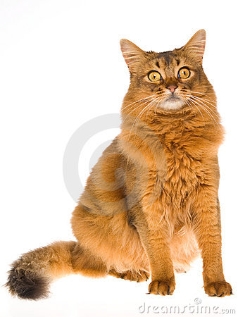 Somali cat sitting on white background
