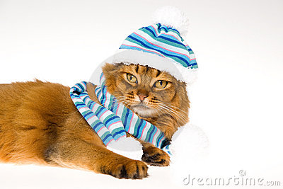 Somali cat wearing knitted hat on white background