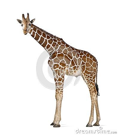 Free Somali Giraffe Stock Images - 26644024