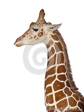 Free Somali Giraffe Royalty Free Stock Image - 26644166