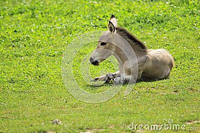 Somali wild