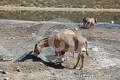 Somali wild ass (Equus africanus somalicus) at El Sod crater lake Ethiopia