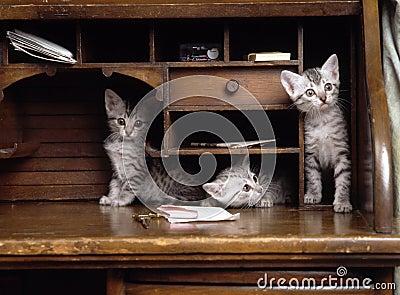 Somalische Katze