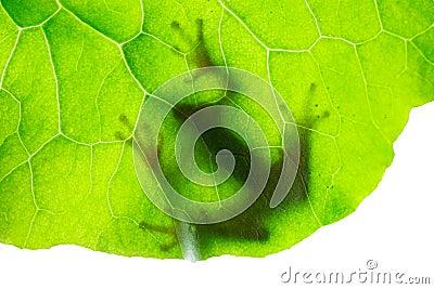 Sombra da rã na folha