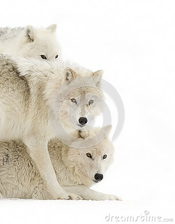 Free Some Arctic Wolves Canis Lupus Arctos Standing In The Winter Snow Royalty Free Stock Photo - 106096675