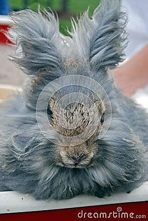 gray angora rabbit